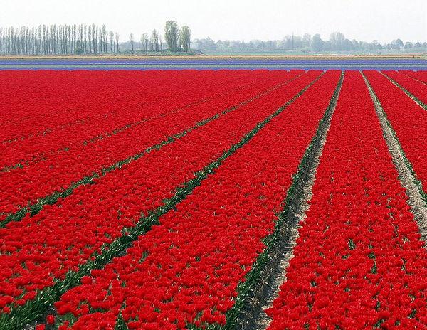Hoa Tulip đỏ (Akaichurippu, 赤 い チ ュ ー リ ッ プ)