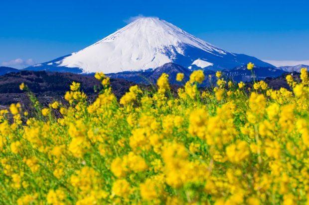 cánh đồng cải dầu mênh mông ở vùng ven sông hồ quanh chân núi Phú Sĩ