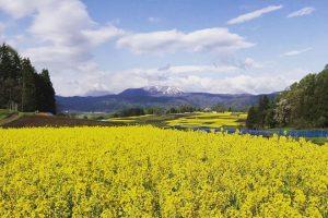 Ngắm hoa cải tháng 5 nở rộ khi đi tour du lịch Nhật Bản