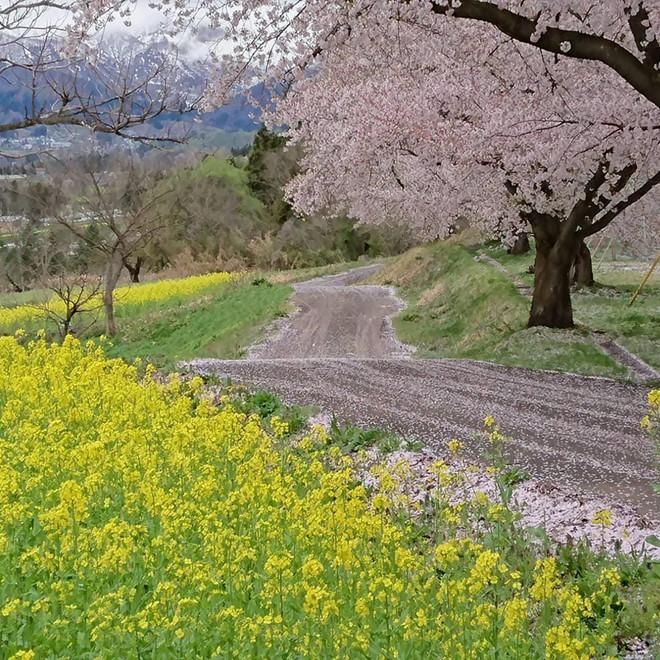 Hoa cải tháng 5, Nhật Bản