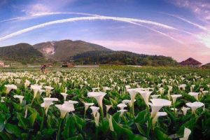 Mùa hoa Loa kèn trắng trên núi Dương Minh, du lịch Đài Loan