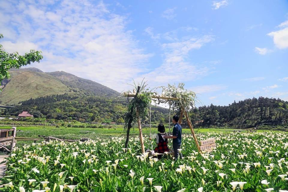 Mùa hoa Loa kèn trắng trên núi Dương Minh nổi tiếng đã bắt đầu trổ bông