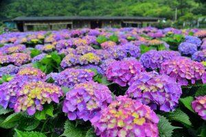 Ngắm Cẩm Tú Cầu trên núi Yangmingshan, Đài Loan vào tháng 5