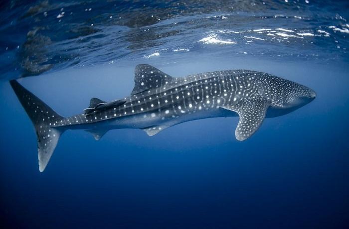 Bơi cùng cá mập voi ...