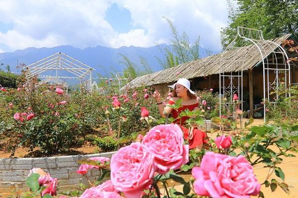 Vườn hồng đỏ rực thung lũng Mường Hoa