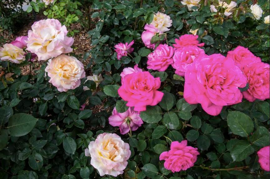 lễ hội hoa hồng ở công viên Everland