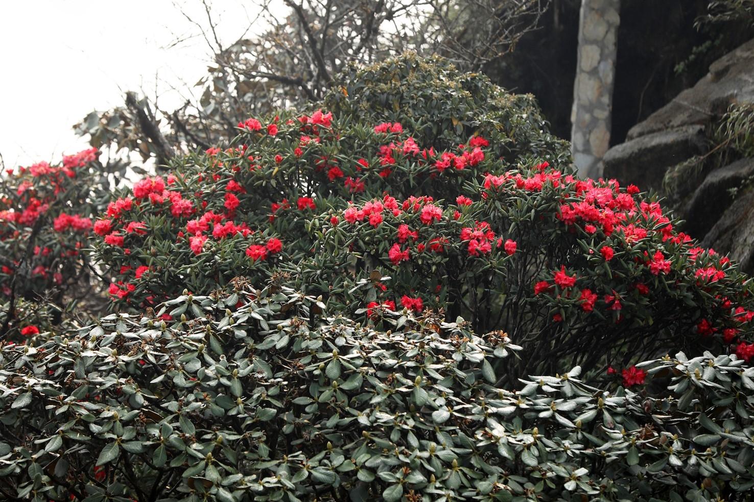 Đỗ quyên sặc sỡ dọc đường trèo đỉnh Phanxipăng