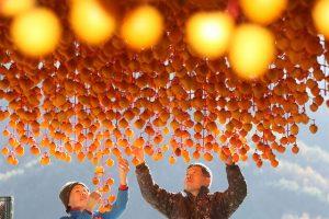 Du khách nên ghé tỉnh Gyeongsang để khám phá quy trình chế biến những trái hồng dẻo chất lượng nhất