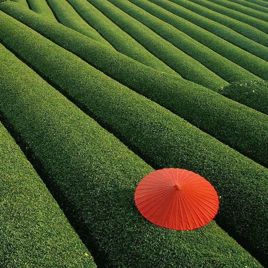 Cánh đồng chè, Trung Quốc