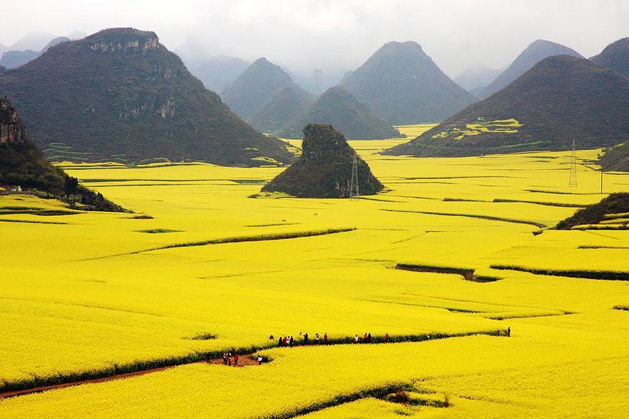 Cánh đồng hoa cải, Trung Quốc