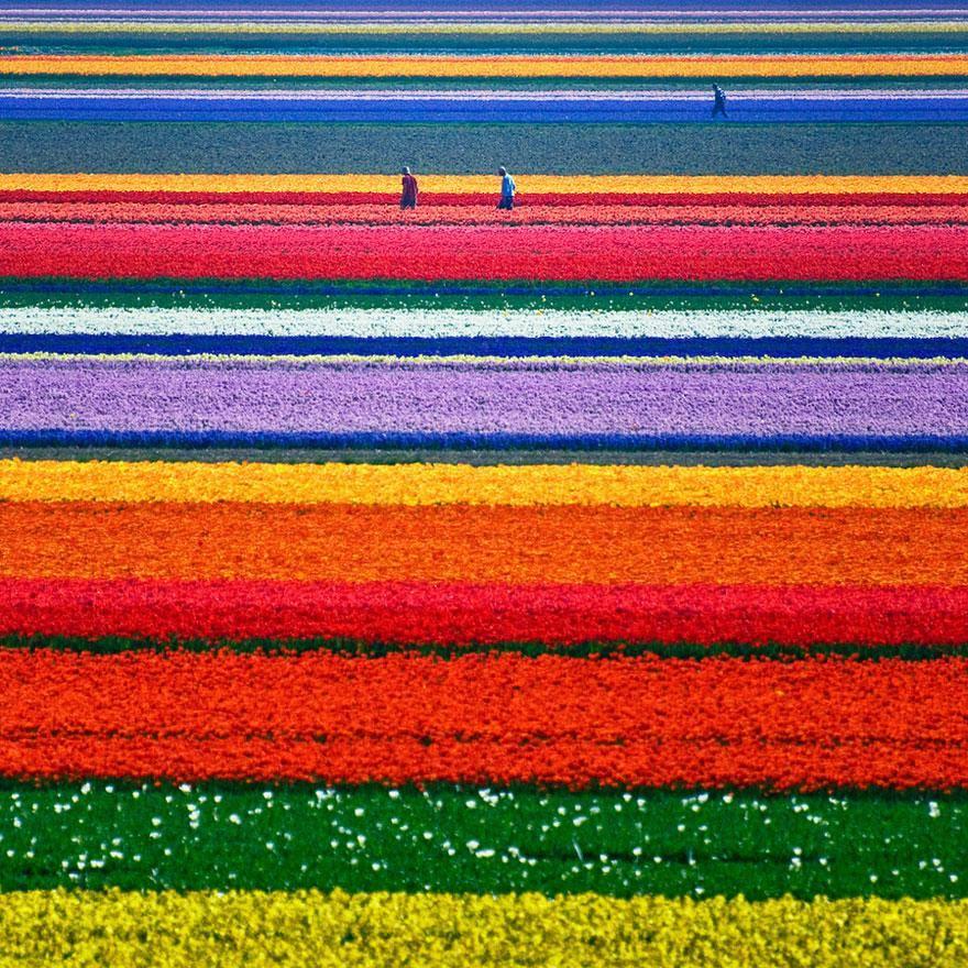 Cánh đồng hoa tulip, Hà Lan