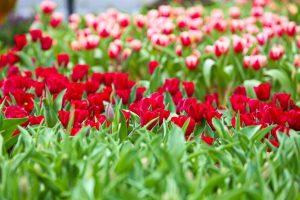 Mùa hoa Yangmingshan đẹp lung linh cho chuyến du lịch Đài Loan
