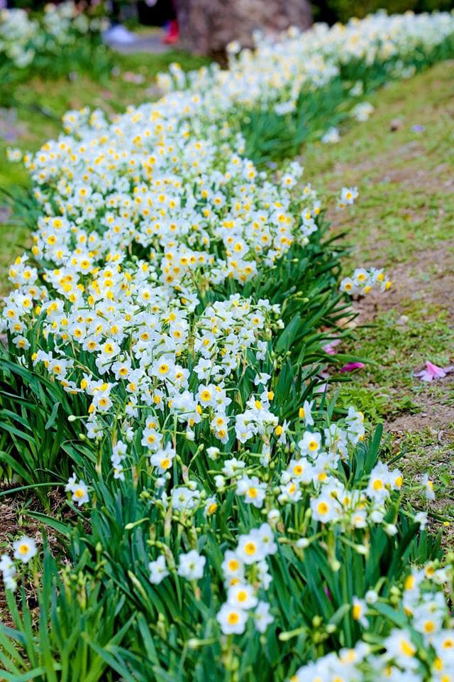 Mùa hoa ở Yangmingshan