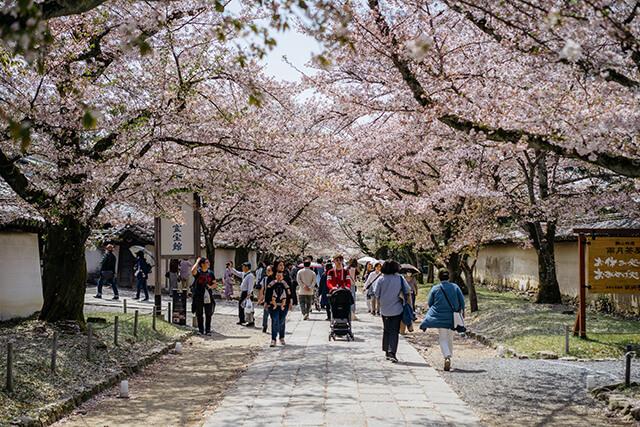 Du lịch Nhật Bản mùa hoa anh đào đừng bỏ qua cơ hội ghé đến chùa Daigoji