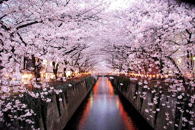 Dọc con sông Meguro có khoảng 800 gốc cây anh đào cho bạn tha hồ ngắm nghía