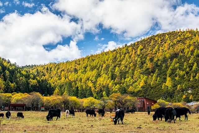 Đàn trâu được chăn thả trên đồng cỏ Di Lý rộng lớn.