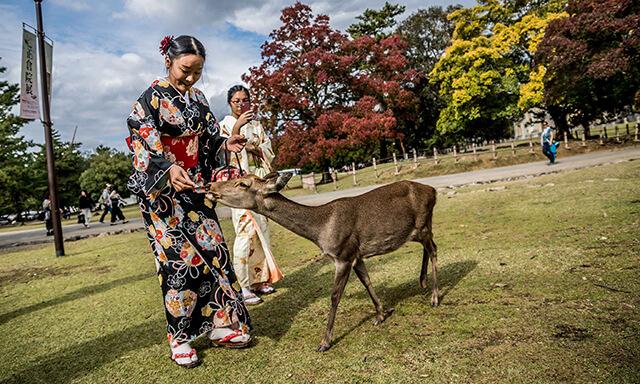Trải nghiệm cho hươu ăn tại công viên Nara