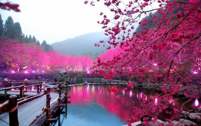 Hoa anh đào mùa xuân ở Hồ Nhật Nguyệt