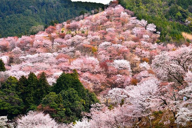 Hoa anh đào tại núi Yoshinoin bung nở như tạo thành tấm thảm hoa tuyệt đẹpHoa anh đào tại núi Yoshinoin bung nở như tạo thành tấm thảm hoa tuyệt đẹp