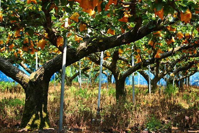 Nông trường trồng lê Sakoen sai trĩu quả