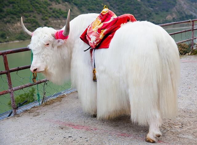 Giống bò Yalk đặc trưng của Tây Tạng
