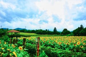 3 Ngôi làng hoa hướng dương đẹp như tranh vẽ ở Hàn Quốc