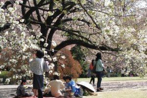 Đi du lịch Nhật Bản ngắm hoa Anh Đào 2020
