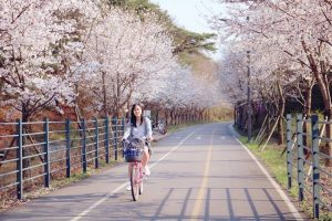 Đi du lịch Hàn Quốc mùa hoa anh đào nở có gì thú vị?