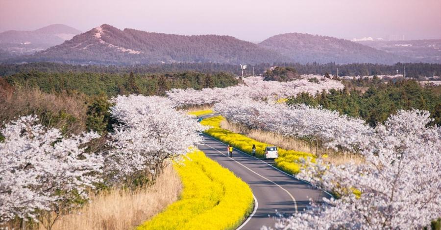 Tháng 3 ghé đảo Jeju ngắm hoa anh đào
