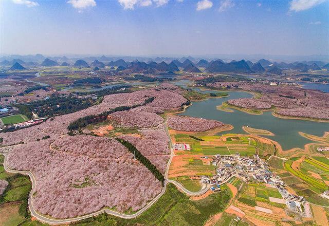 Thảm hoa anh đào ở nông trại nông trại Pingba vào cuối tháng 3- tháng 4