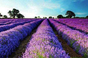 Khám phá vườn hoa Oải Hương khi đi tour du lịch Đài Loan