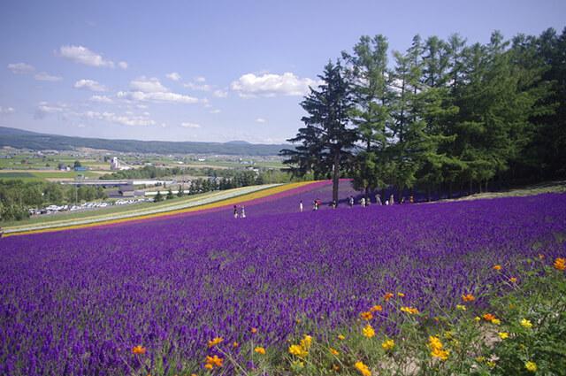 Những cánh đồng hoa Lavender bung nở tím ngắt vào dịp tháng 7