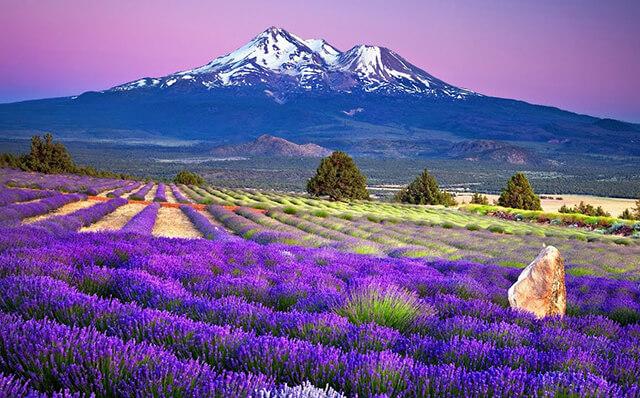Tháng 7 là mùa hoa oải hương nở rộ tại Nhật Bản