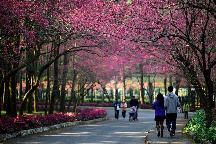 Vẻ đẹp hoa anh đào tại Đài Loan