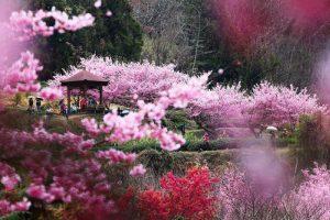 Đi du lịch Đài Loan nên ngắm hoa anh đào ở những địa điểm nào đẹp?
