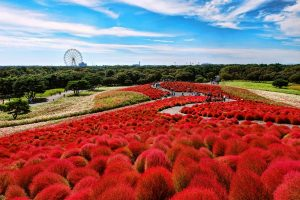 Đi du lịch Nhật Bản đừng quên tận hưởng vẻ đẹp của đồi cổ hồng Kochia