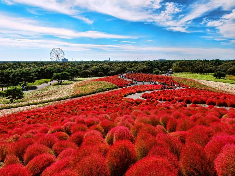 Hơn 32.000 cây Kochia đua sắc đỏ