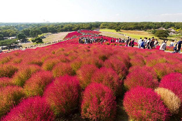 Hàng nghìn bông hoa Kochia