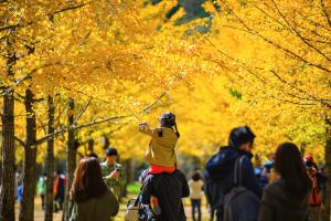 Vẻ đẹp kiêu sa của vườn ngân hạnh Hongcheon, Hàn Quốc