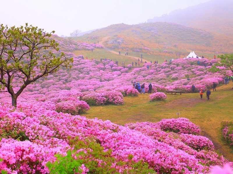 lễ hội hoa đỗ quyên tại núi Goryeo