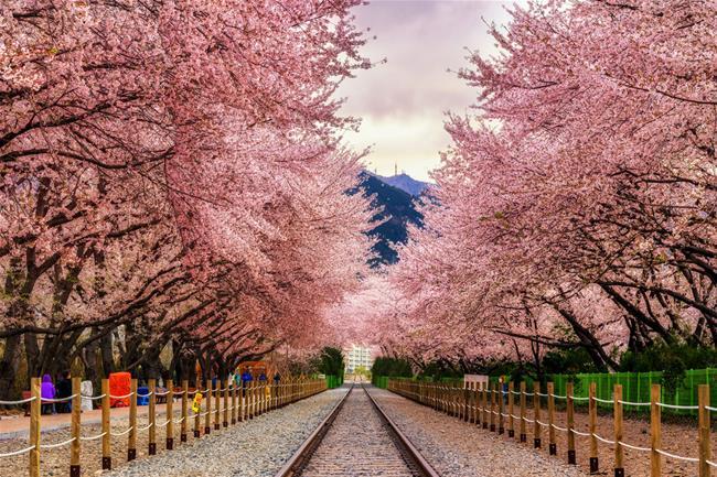 hoa anh đào Busan