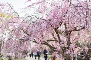 Du lịch Nhật Bản vào mùa hoa anh đào khá là thú vị!