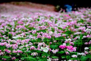 Bốn mùa du Lịch Sapa sẽ sở hữu những loài hoa khoe sắc nào?