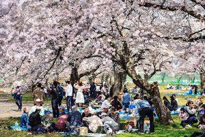 Du lịch Nhật Bản mùa hoa anh đào có gì hấp dẫn?