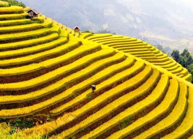Mùa thu ở Sapa đón lúa chín vàng óng