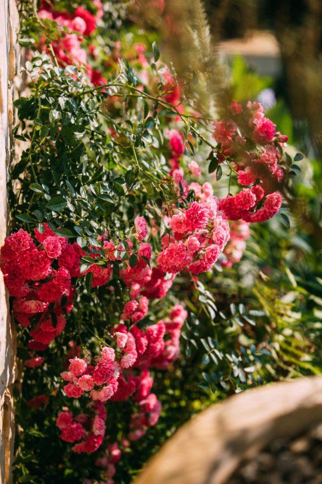 Du lịch Sapa dạo quanh những con đường có hoa hồng leo nở rực rỡ